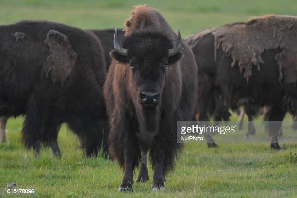 View of a herd of bisons seen on a field west of Calgary. On Wednesday, August 8 in Bow Valley Trail, Morley, Alberta, Canada.