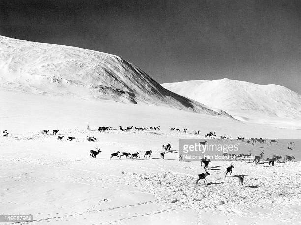 View of a herd of caribou cows and calves crossing the snowcovered tundra Northwest Territories Canada 1960 Photo taken during the National Film...