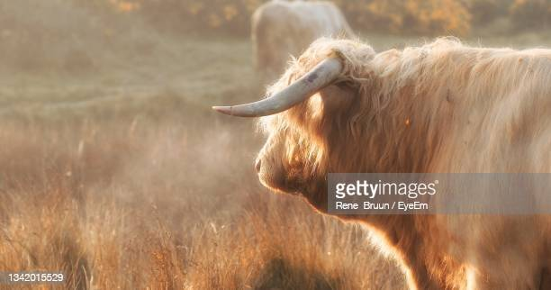 view of a highland cow on field - leinster province stock pictures, royalty-free photos & images