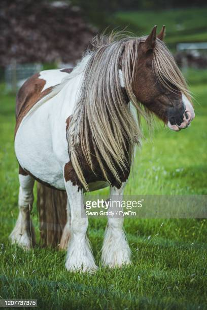 view of a horse in a field - horsedrawn stock pictures, royalty-free photos & images