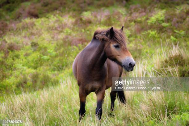view of a horse on field exmoor national park - exmoor national park 個照片及圖片檔