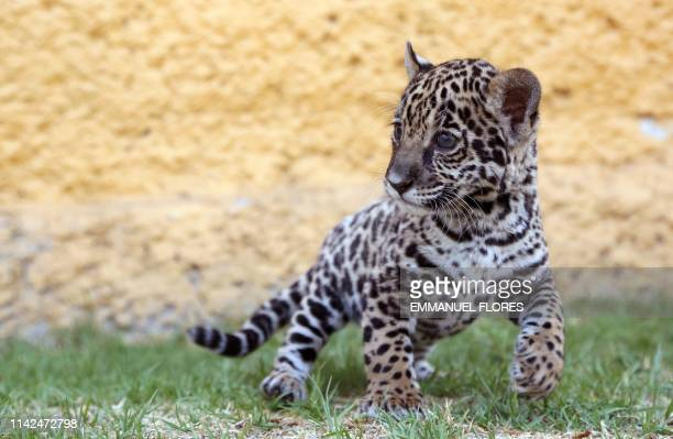 View of a jaguar cub born in captivity on March 20 during its presentation at the zoo in Tlaxcala Mexico on May 09 2019
