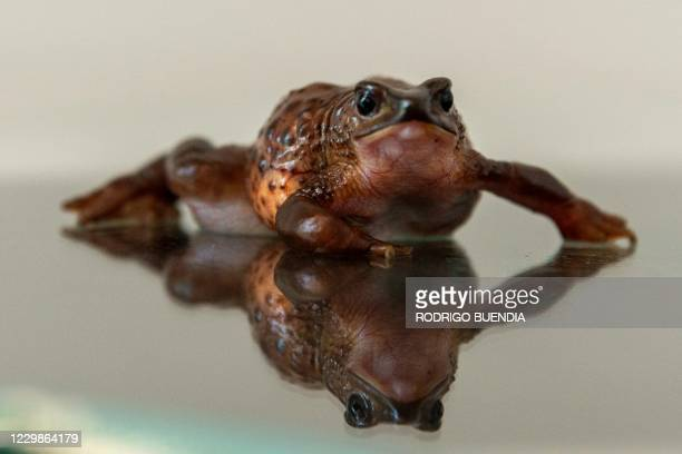 View of a Jambato toad or Quito stubfoot toad during an analysis at the Jambatu Center for Amphibian Research and Conservation, in San Rafael,...
