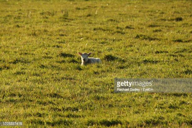 view of a lamb on field in spring - ulster province stock pictures, royalty-free photos & images
