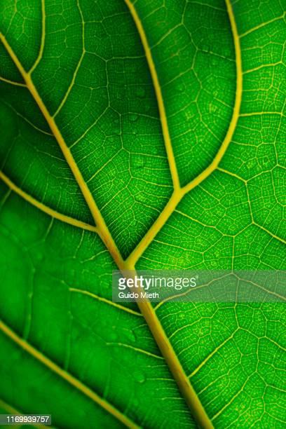 view of a leaf's veins close-up. - light natural phenomenon stock-fotos und bilder