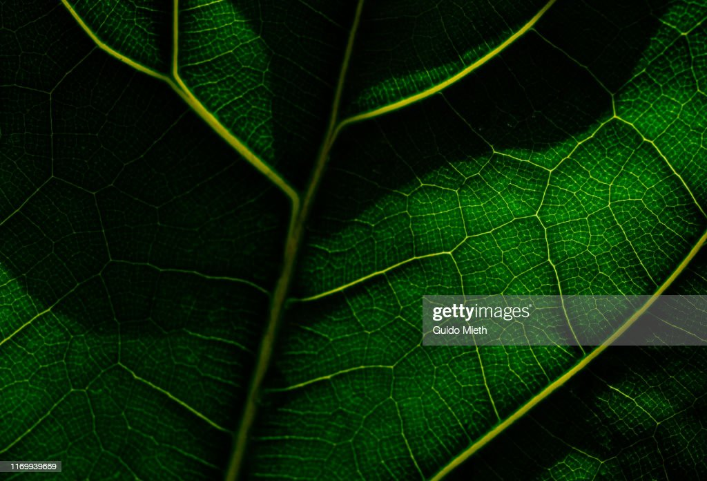 View of a leaf's veins. : Stock Photo
