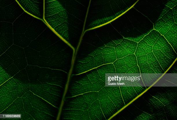 view of a leaf's veins. - nature stock-fotos und bilder