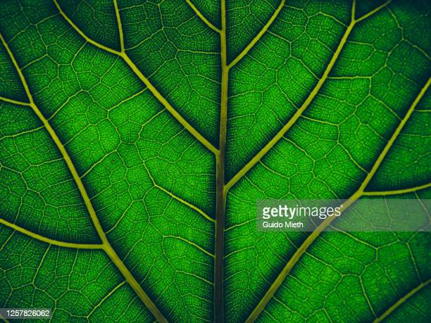 view of a leaf's veins. - environmental issues stock pictures, royalty-free photos & images