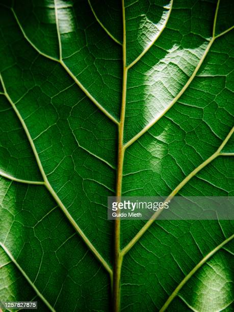 view of a leaf's veins. - sustainability stock pictures, royalty-free photos & images
