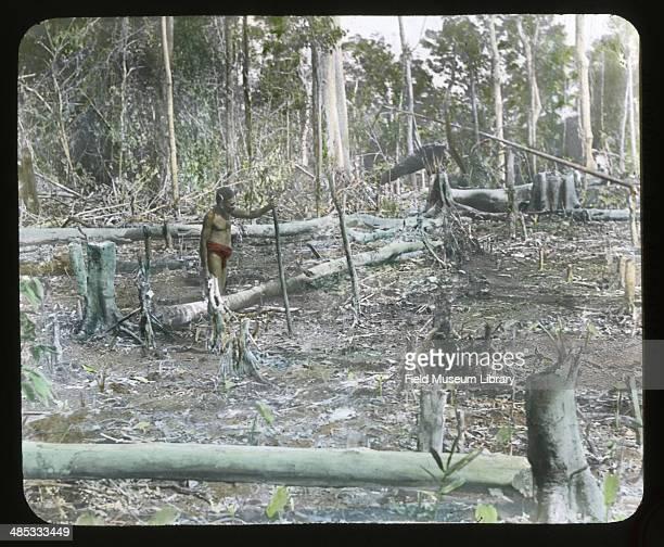 View of a man planting taro Cape Merkus Papua New Guinea January 1910
