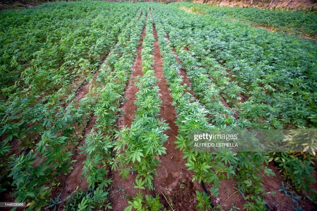 View of a marijuana field, at Los Algodo : News Photo