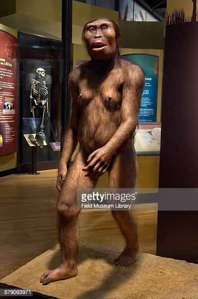View of a model of Lucy, Australopithicus afarensis, a hominid. Artist Elisabeth Daynes, shown in glass case in the Evolving Planet exhibit.