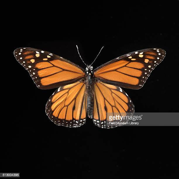 View of a Monarch Butterfly specimen from the Zoology Department at the Field Museum October 1982 Representing the first type of insects accessioned...