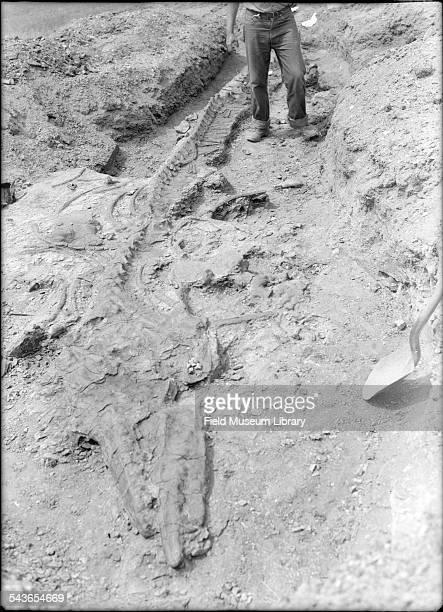 View of a Mosasaur fossil unearthed during an expedition South Dakota 1941