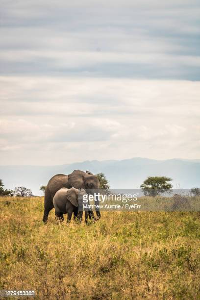 view of a mother and baby elephant walking in the serengeti - vertical stock pictures, royalty-free photos & images