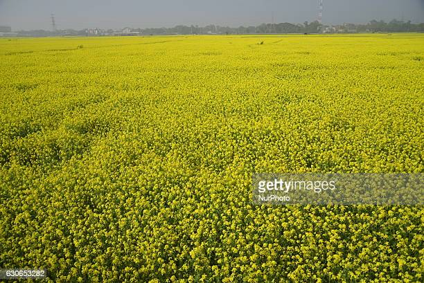View of a mustard crop flower field at Manikganj near Dhaka in Bangladesh on December 28 2016 Mustard is a cool weather crop and is grown from seeds...