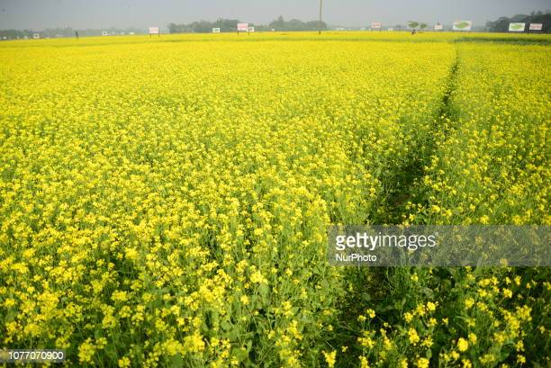 View of a mustard crop flower field in Munshigonj near Dhaka Bangladesh on January 04 2019 Mustard is a cool weather crop and is grown from seeds...