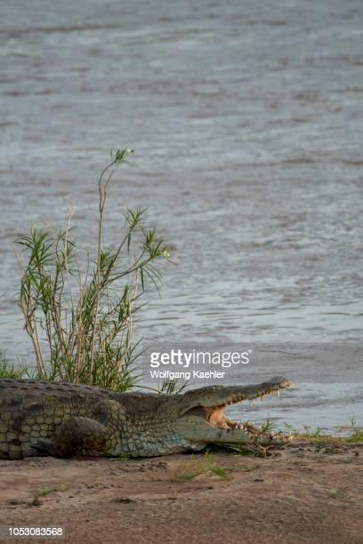 View of a Nile crocodile basking in the sunshine on the banks of the Ewaso Nyiro River in the Samburu National Reserve in Kenya