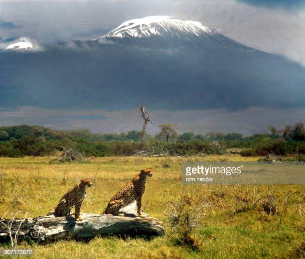 View of a pair of cheetahs resting on and around a felled tree in Amboseli Game Reserve with Mt Kilimanjaro in the background Kenya 1964