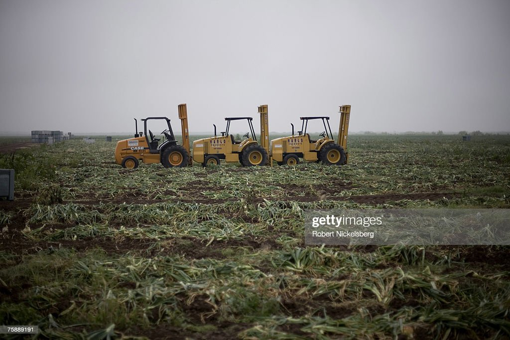 A view of a picked field after Mexican laborers harvested #10-15 yellow onions on April 11, 2007 in Rio Grande City. The large yellow onions normally sell for $26-$30 for a 50 pound bag. The onion's name comes from it's annual planting date, roughly around October 15. They become the Rio Grande Valley's winter crop harvested the following spring. The sweet yellow onion is sold coast to coast by growers based in Edinburg, Texas. The Mexican crew is from Tabasco State and will work the US agricultural harvests for nearly 10 months. Workers are on a contract giving them $10 - $12 per hour. A team of 4 can normally harvest 900-1000 pounds of onions per hour. Rio Grande City is the county seat of Starr County and has the lowest per capita income of any US county with $11,362 per year.