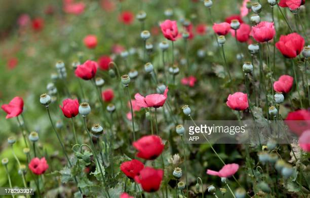 View of a poppy field at Petatlan hills in Guerrero state, Mexico on August 28, 2013. Mexico is being whipped by a war among drug cartels disputing...