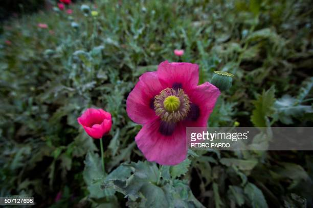 Opium Poppy Stock Photos And Pictures