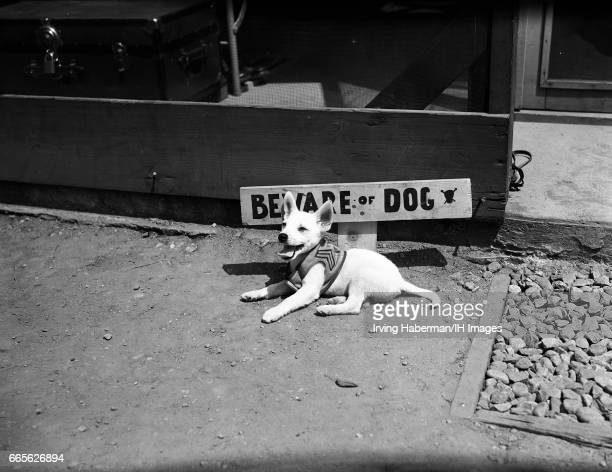 View of a puppy in a small coat decorated with military chevrons panting on the ground in front of a sign that reads 'Beware of Dog' New York New...