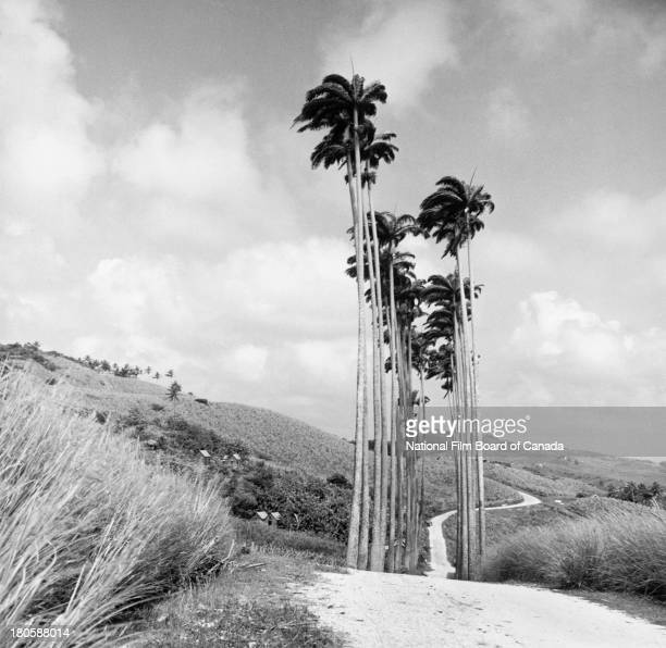 View of a road with palm trees in the foreground on the island of Trinidad Trinidad and Tobago August 1956 Photo taken during the National Film Board...