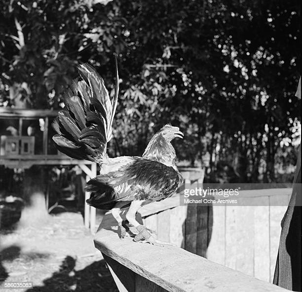 A view of a rooster used for cock fighting in Havana Cuba
