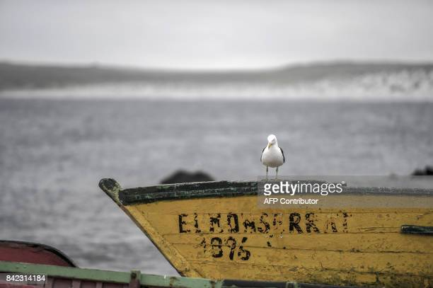 View of a seagull in La Serena about 450 km north of Santiago on September 3 2017 Chile will host the 4th International Marine Protected Areas...