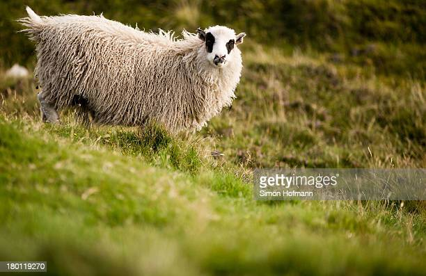 A view of a sheep nearby Sorvagsvatn lake on September 7 2013 in Torshavn Faroe Islands