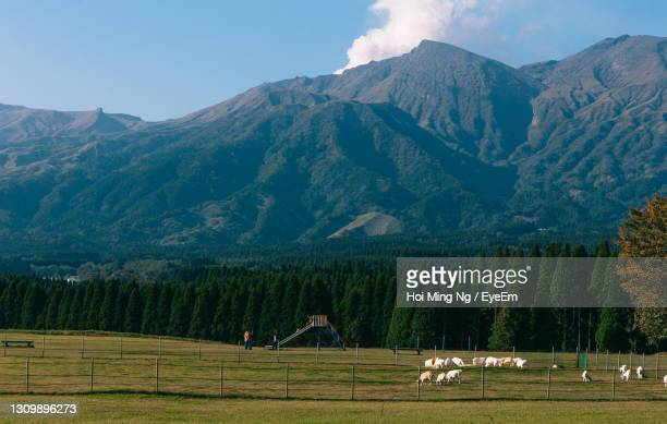 view of a sheep on a mountain - 熊本県 ストックフォトと画像