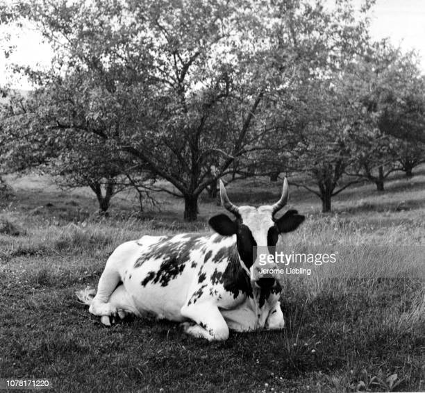 View of a shorthorn piebald cow with horns as it sits on the grass in an apple orchard Dalton Massachusetts 1951