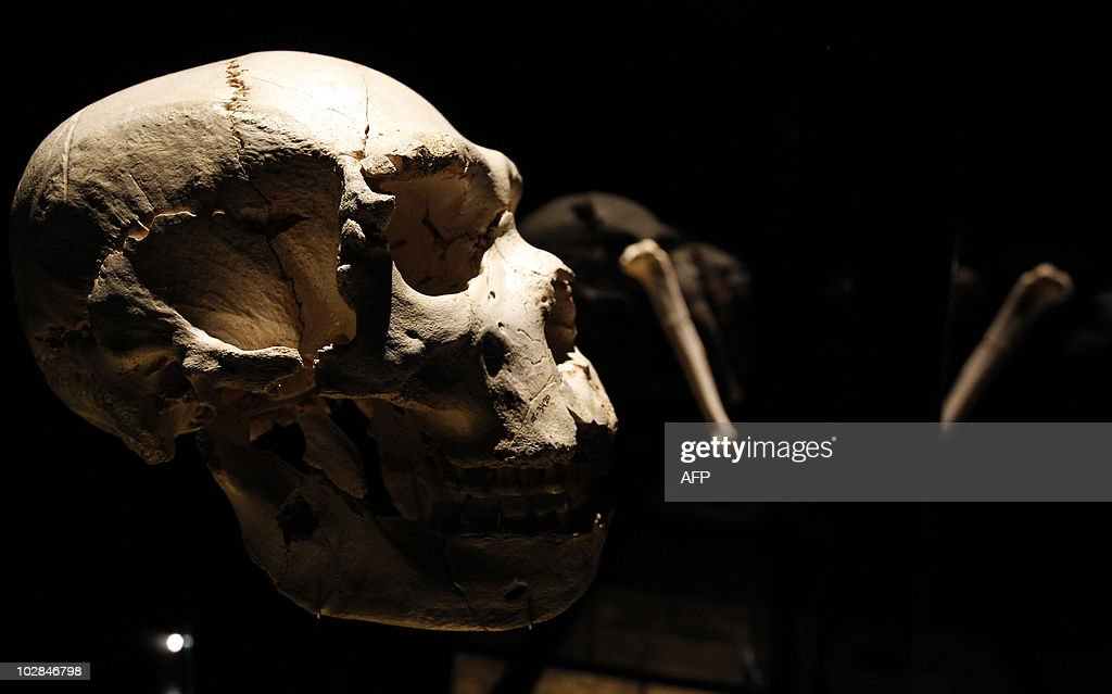 View of a skull of an adult Homo heidelbergensis, found in Sima de los Huesos, near Burgos in 1992, on display at the Museum of Human Evolution (MEH) on July 13, 2010 in Burgos, near the archaeological site of Atapuerca. The Museum of Human Evolution in Burgos (MEH) expects to attract around 300,000 visitors each year, a total area of 15,000 m2, distributed between a permanent exhibition space and temporary exhibitions.