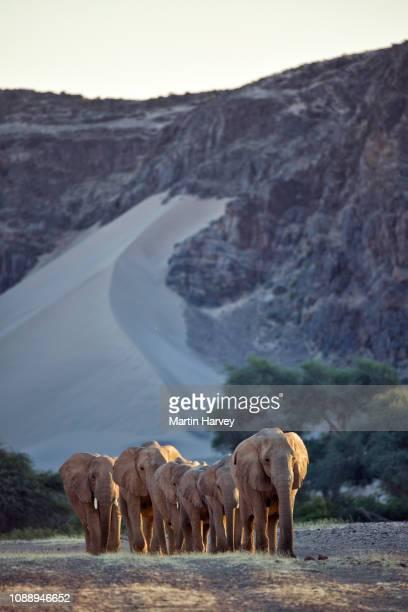 4k view of a small herd of desert elephant walking to a waterhole in the hoanib valley,namib desert, namibia - deserto da namíbia - fotografias e filmes do acervo