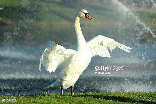 View of a swan by the 18th green during day two of the Turkish Airlines Open at the Regnum Carya Golf Spa Resort on November 4 2016 in Antalya Turkey