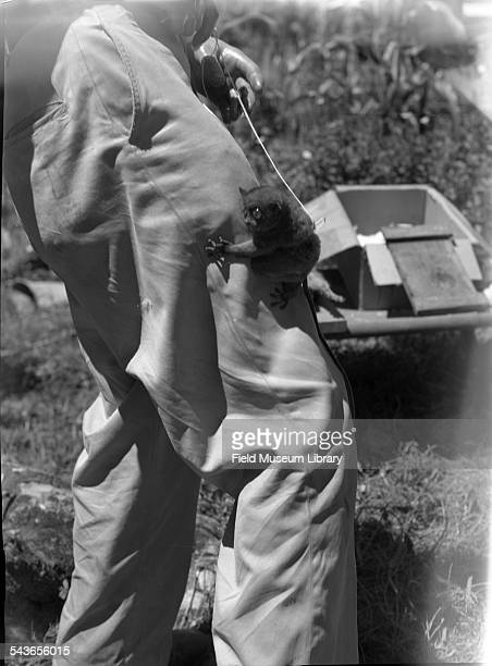 View of a tarsier holding onto a man's pant leg at an abaca plantation at the International Harvester Corporation Davao October 1946 October 1946