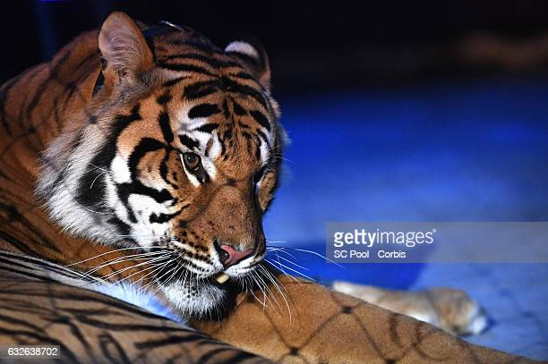 View of a tiger of Zapashny brothers winners of a Silver Clown award perform at the gala of the 41st MonteCarlo International Circus Festival on...