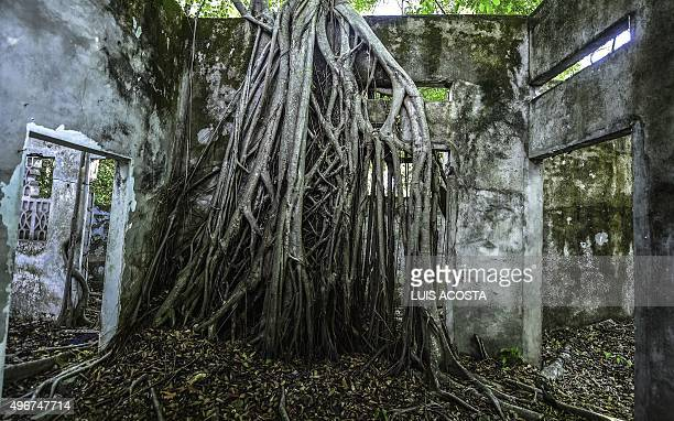 View of a tree that grew inside a house in ruins in the town of Armero Tolima department Colombia on November 5 2015 Armero was destroyed by a...