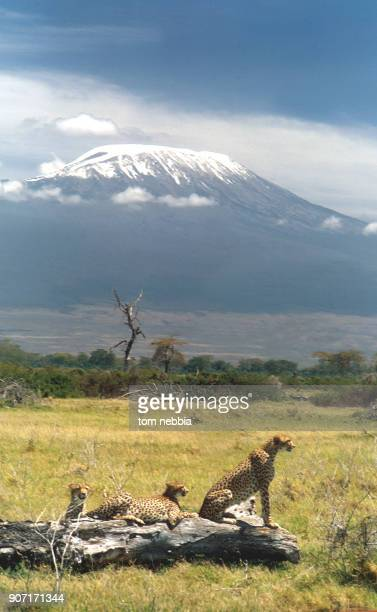 View of a trio of cheetahs resting on and around a felled tree in Amboseli Game Reserve with Mt Kilimanjaro in the background Kenya 1964
