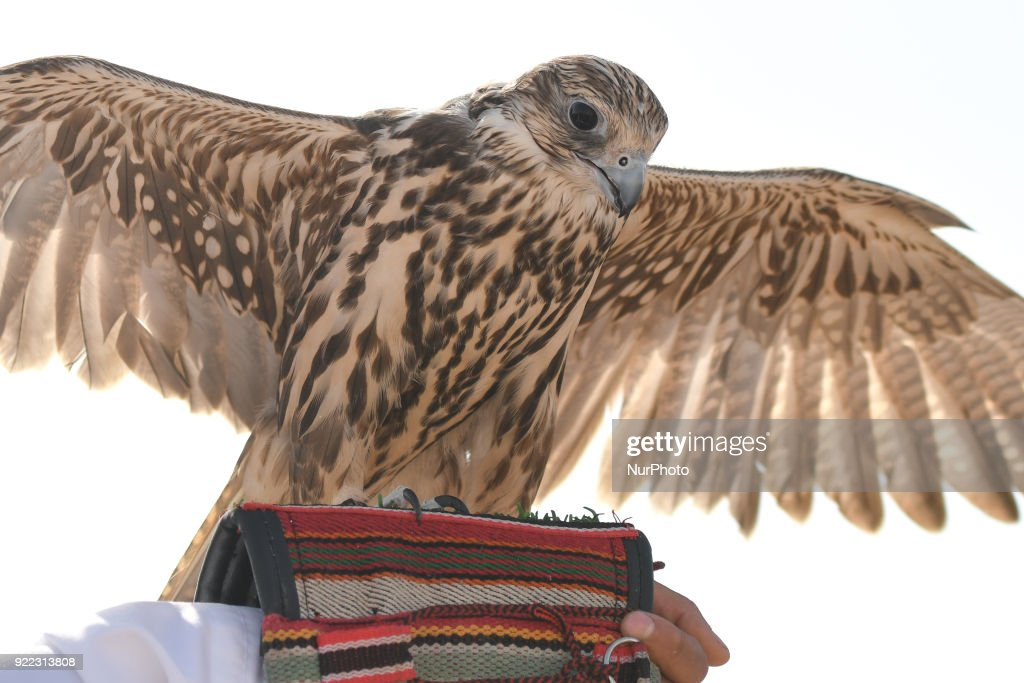 Falconry - UAE's oldest tradition and sport : News Photo