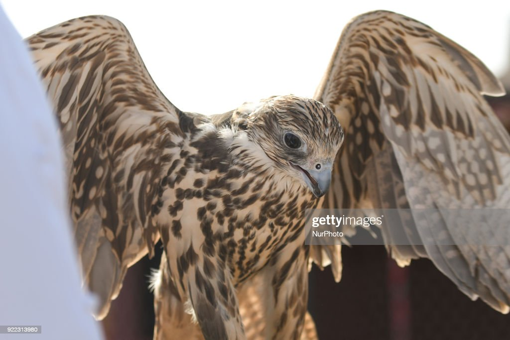 A view of a two year old falcon held by his trainer during a demonstration. Falconry is UAE's oldest tradition and it dates back to 2000 years that started as a source for food, to hunt hares and houbara. It was also considered a way of life for leaders of the tribe. On Wednesday, February 21, 2018, in Madinat Zayed, Abu Dhabi, United Arab Emirates.