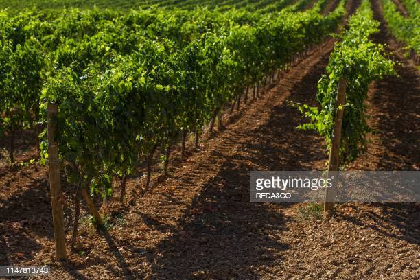 A view of a vineyard in San Quirico d'Orcia Tuscany Italy