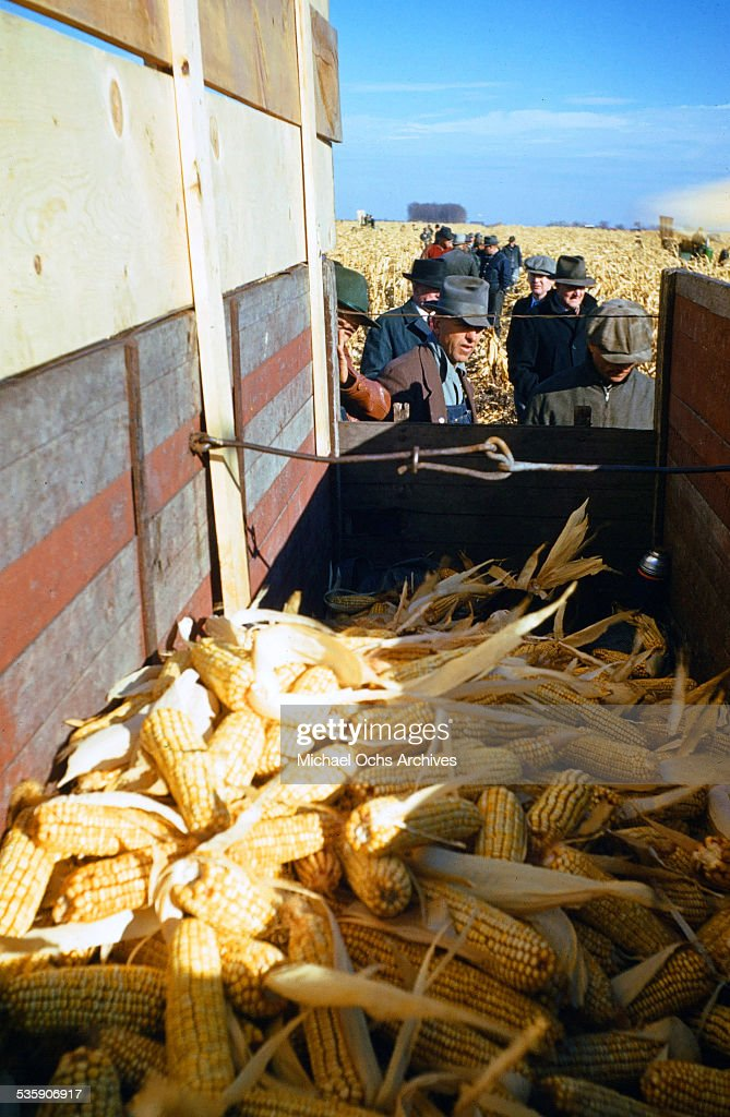 A view of a wagon full of ears of corn during corn harvest time.