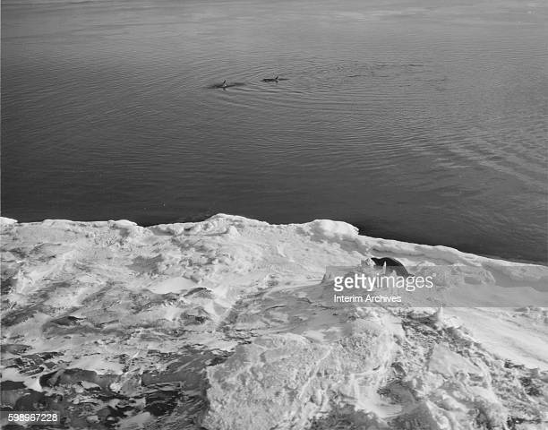 View of a Weddell seal on an ice shelf at the Ross Sea near NAF McMurdo Sound Antarctica March 14 1961 In the distance a pair of killer whales break...