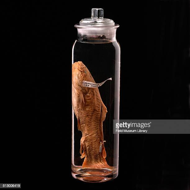 View of a Yellow Bullhead Catfish specimen collected by the first curator in Fishes from the Zoology Department of the Field Museum April 24 1984