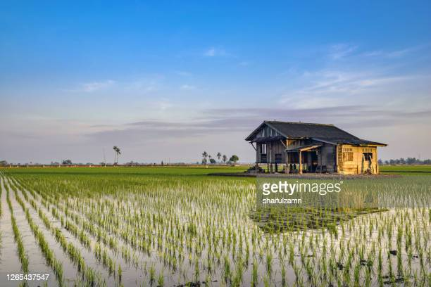 view of abandoned house over paddy fields. - shaifulzamri stock pictures, royalty-free photos & images