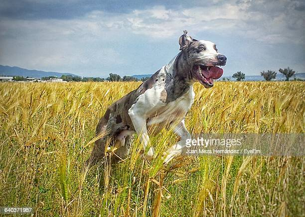 view of aggressive dog jumping on barley field - hunting dog stock pictures, royalty-free photos & images