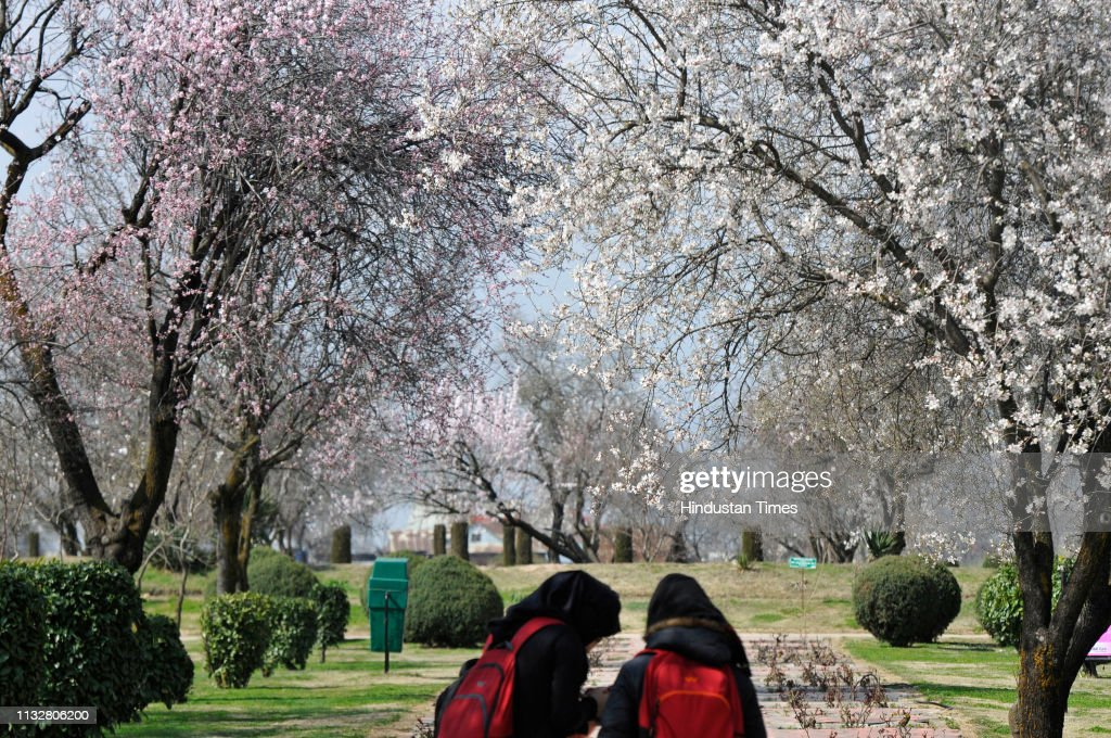 IND: Almond Trees Blossom In Kashmir