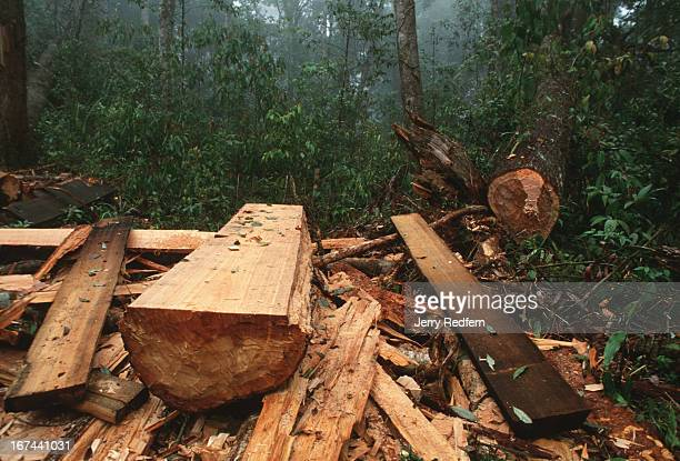 View of an abandoned sandalwood logging site in northern Vietnam The wood had been felled several days previously and was abandoned and will most...